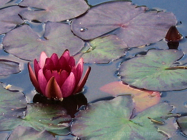 LillyPad Blossom