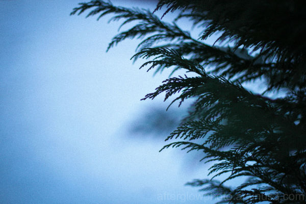 Winter Cypress