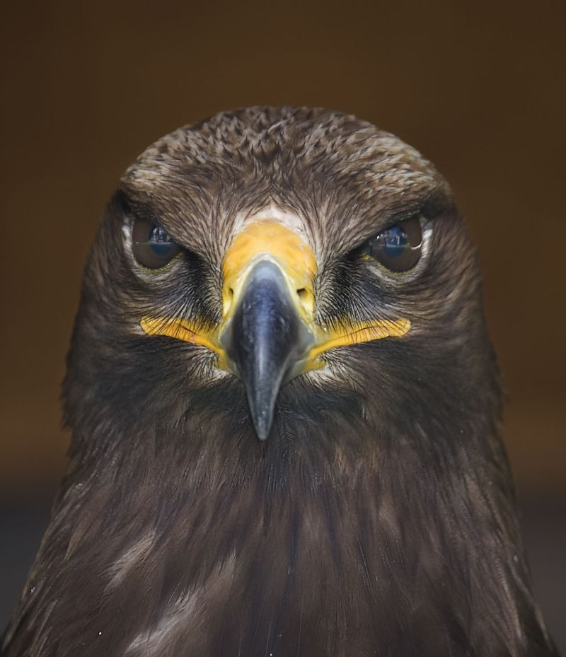 Retrato frontal de un depredador