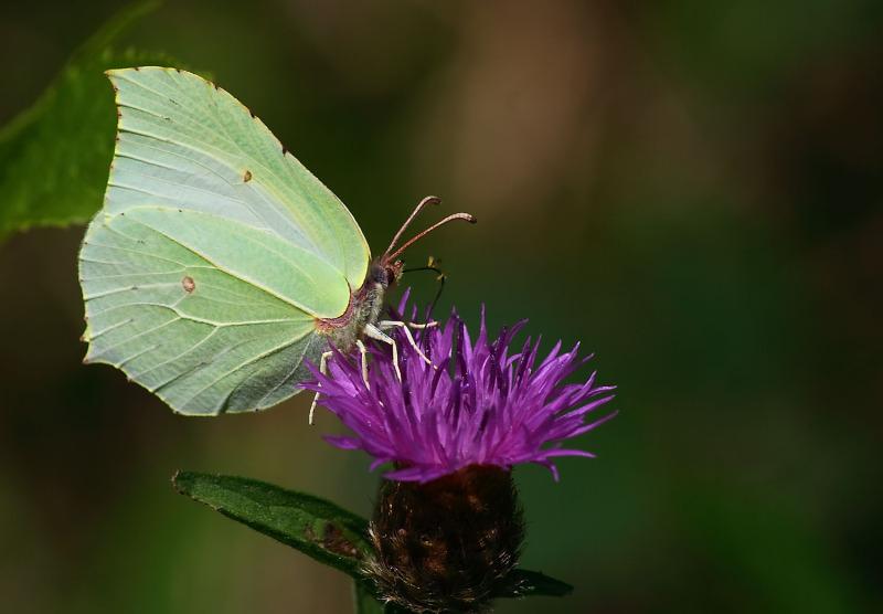 Fragile papillón