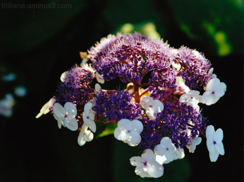 analog vision #33 - lilac white
