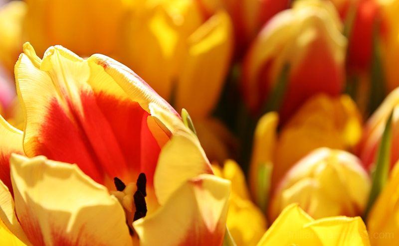 tulip season #2