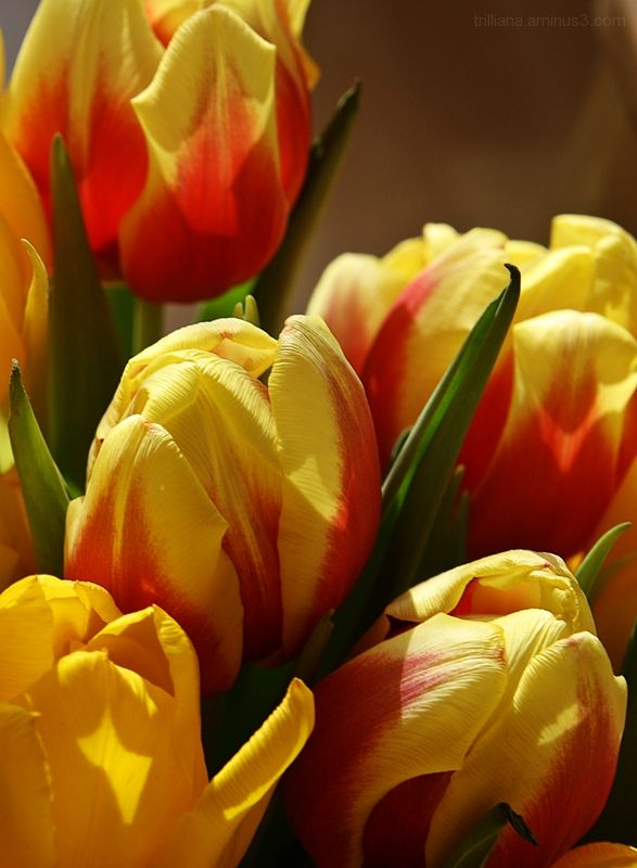 tulip season #3