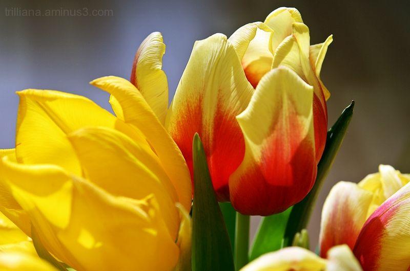tulip season #6