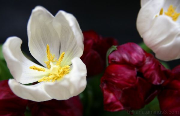tulip season's over #2