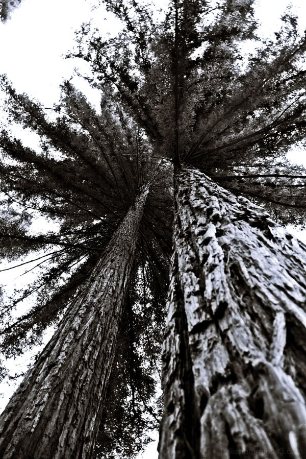 red woods in monochrome