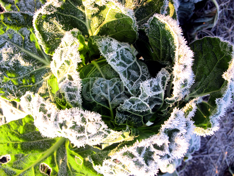 garden brussel sprout frost
