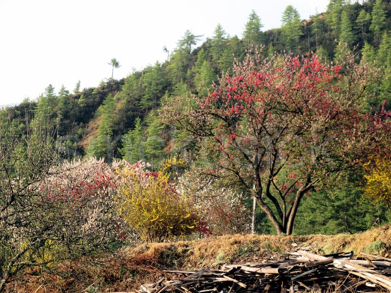 spring rhododendran