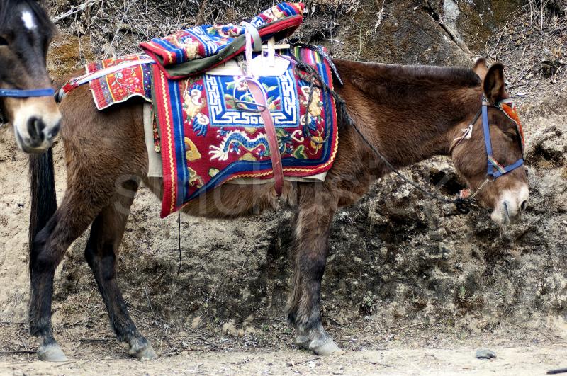 bhutanese horse