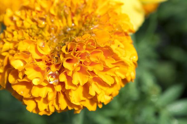Genda Phool (marigold flower)