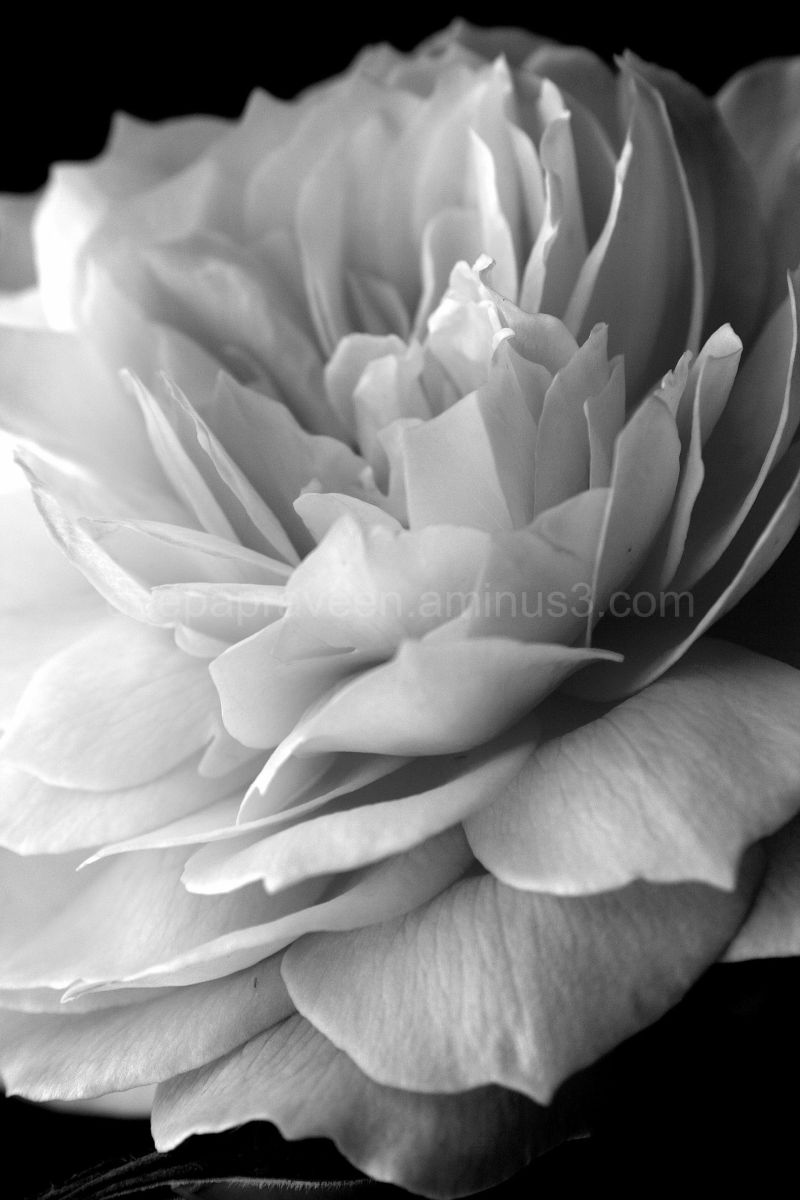 flower,monchrome,black and white, macro,rose,rosef
