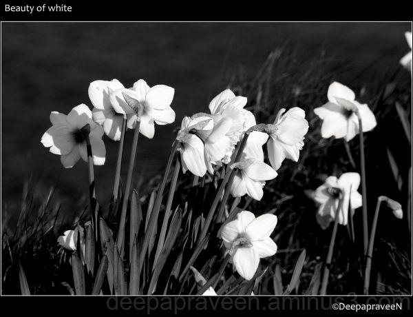 flower,monchrome,black and white,Deepa,India,