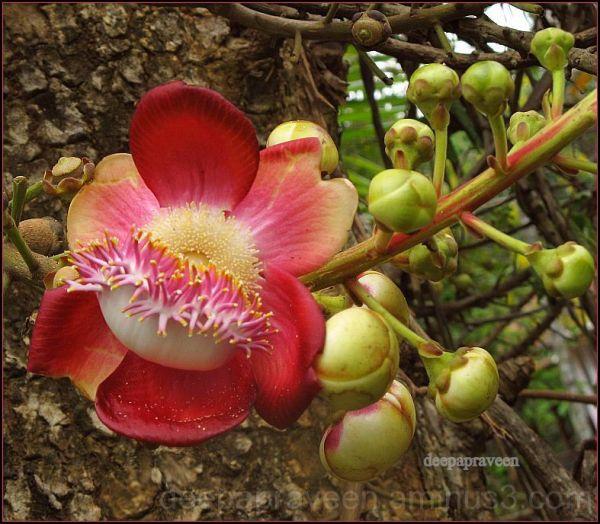 Deepa photos, nagalingam flower,flower photo