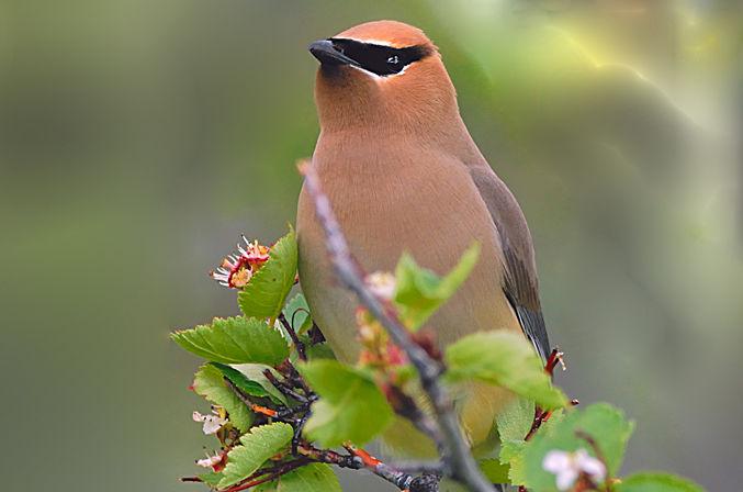 Cedar Waxwing in Natural Habitat