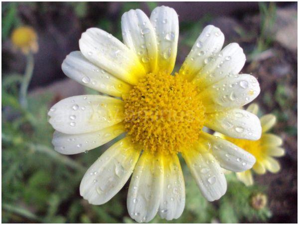 rainboy,vikram parmar,Flower,dewdrops