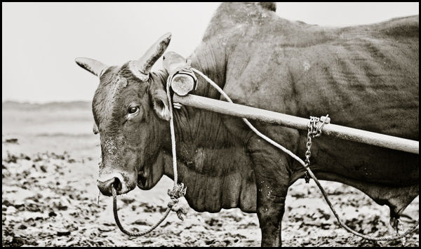 portrait of a vietnamese bull