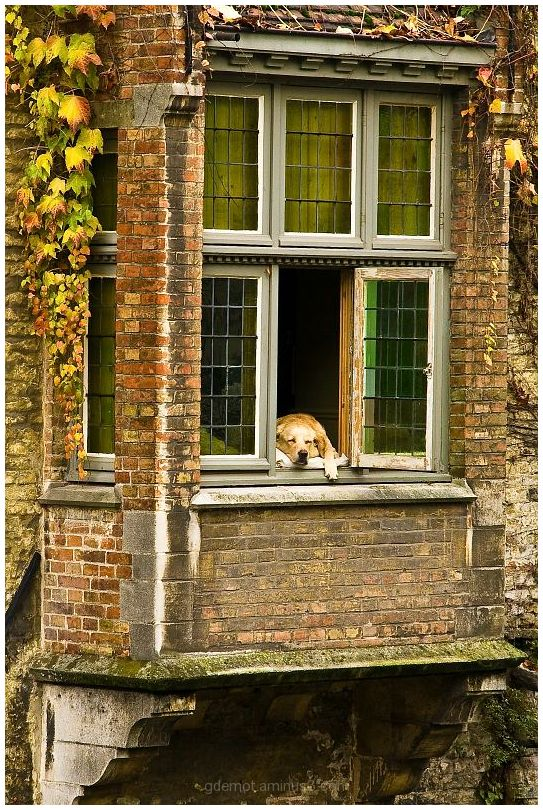 Sleeping dog in Bruges
