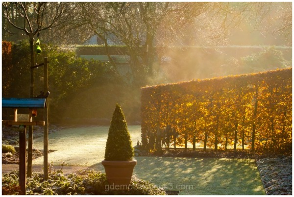 A hedge of beech in the morning sun