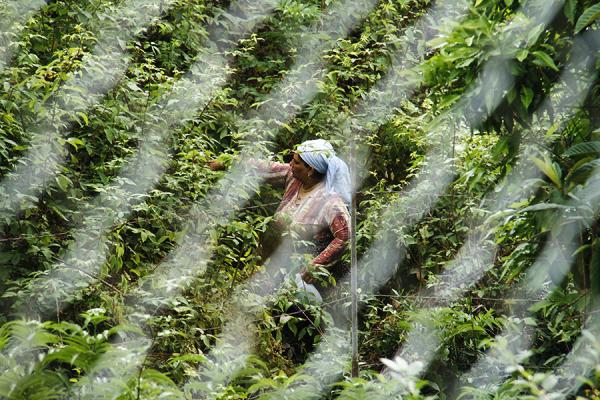 زنی در حال چیدن تمشک