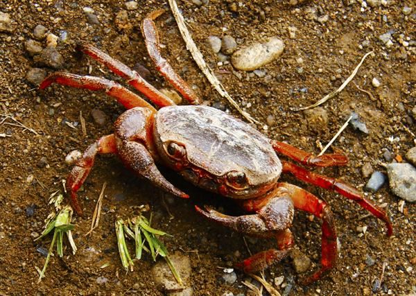 خرچنگ کوچولو