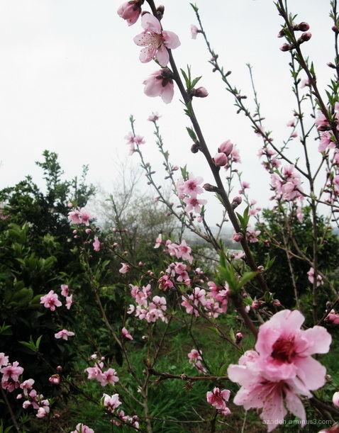 شکوفه های هلو