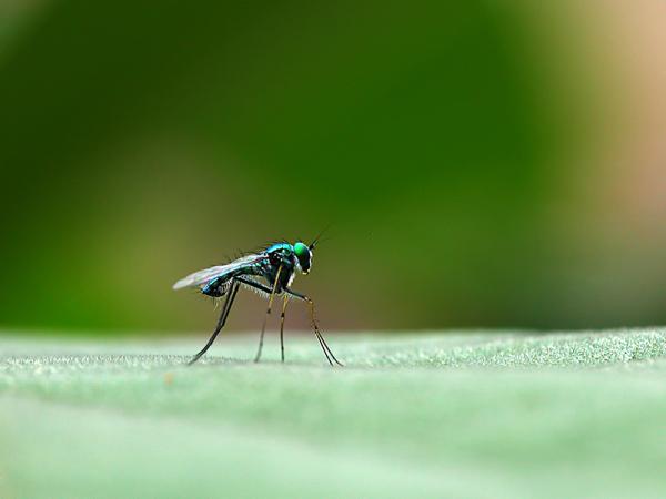 Long leg Fly
