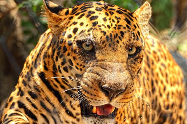 Tiger, wildlife