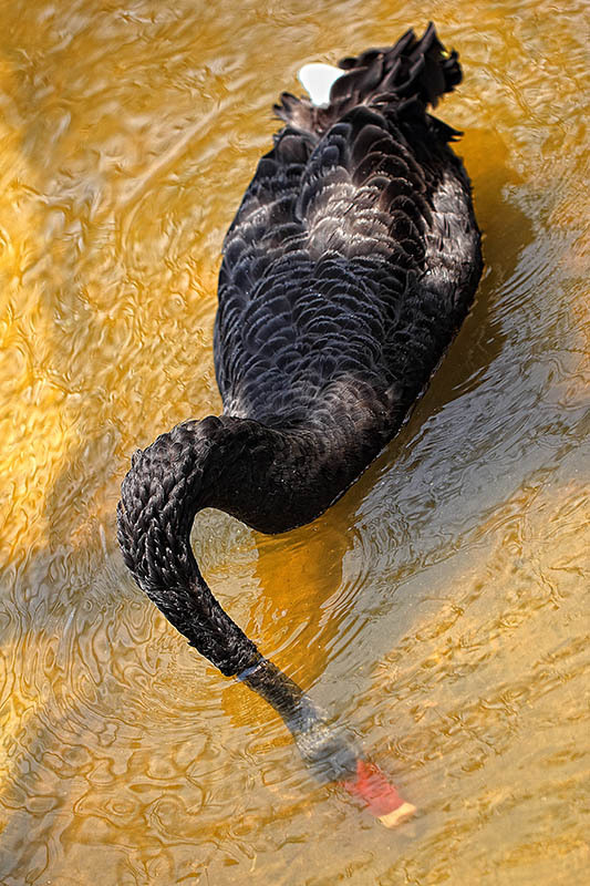 Goose, wildlife