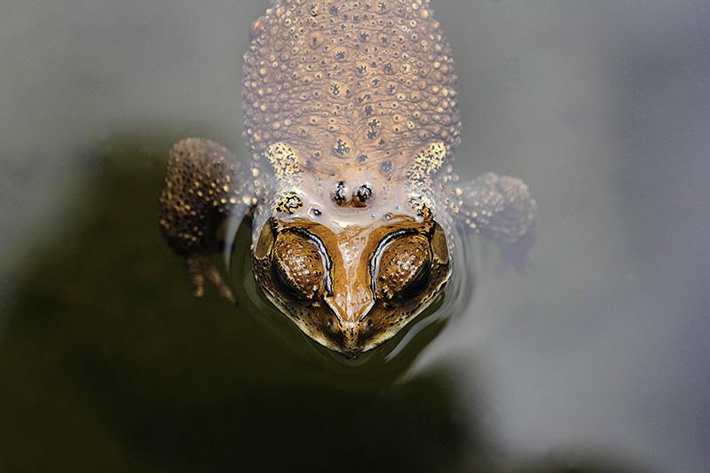 Macro, Frog, Malang, East java, Indonesia