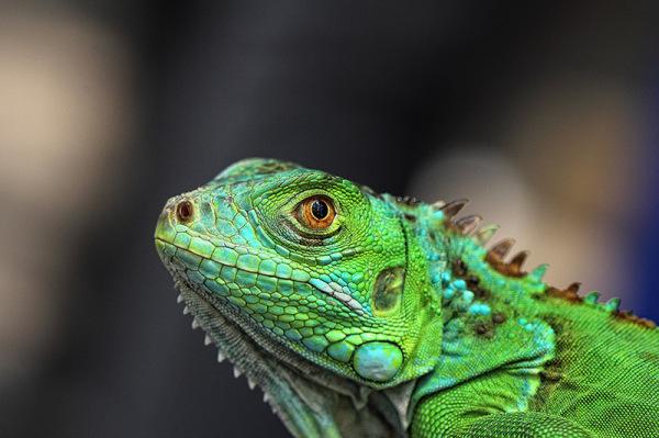 Macro, Chameleon, candid, Malang, east java, Indon