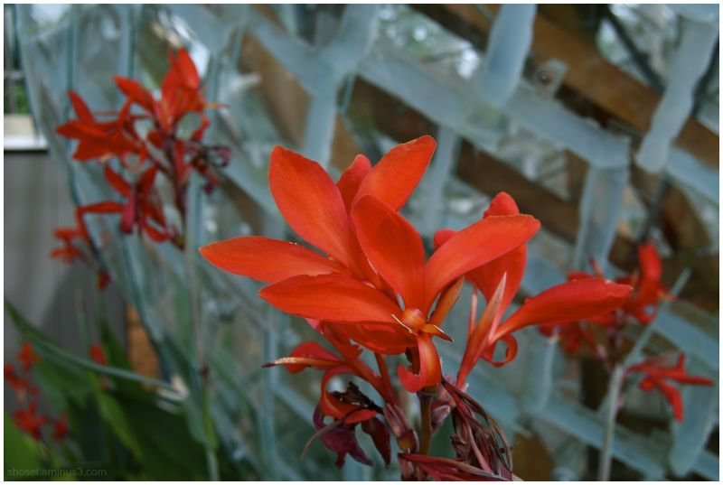 Red Flowers, Glass Fish