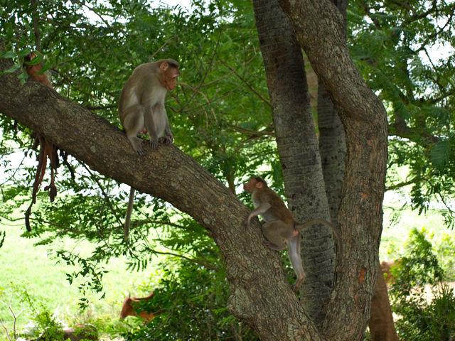 Rhesus macaque -1