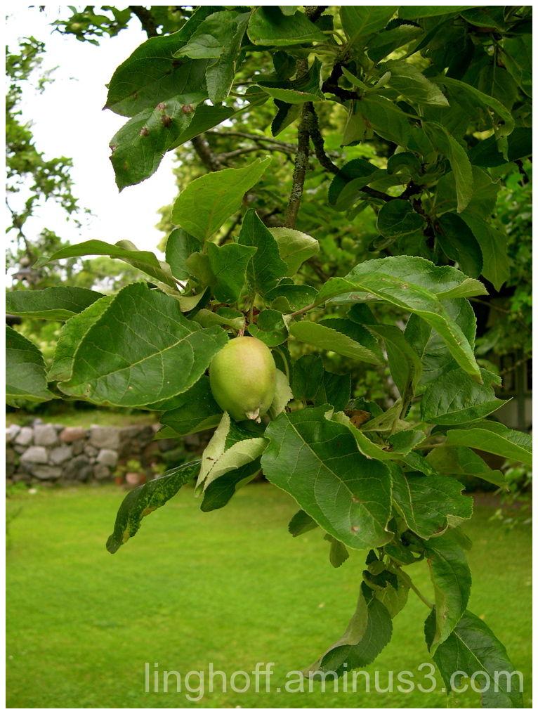 apple harvest green äpple appletree
