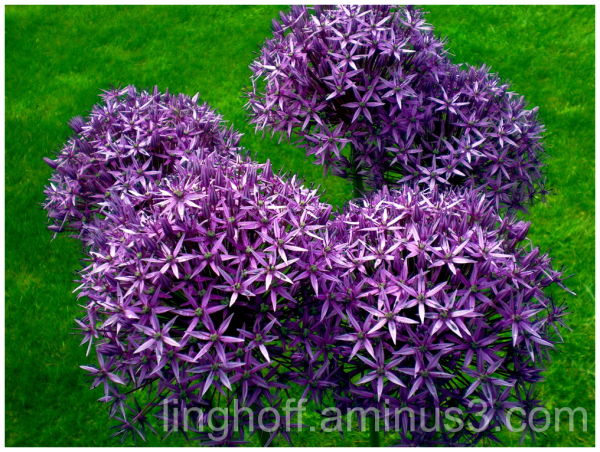 purple allum lila blomma bollar