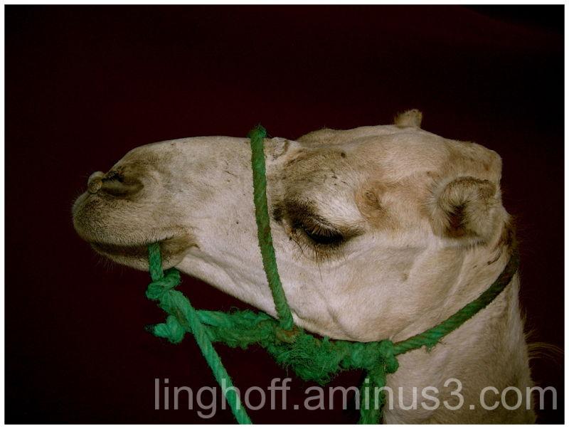 sahara öken sanddyna skugga värme kamel desertship