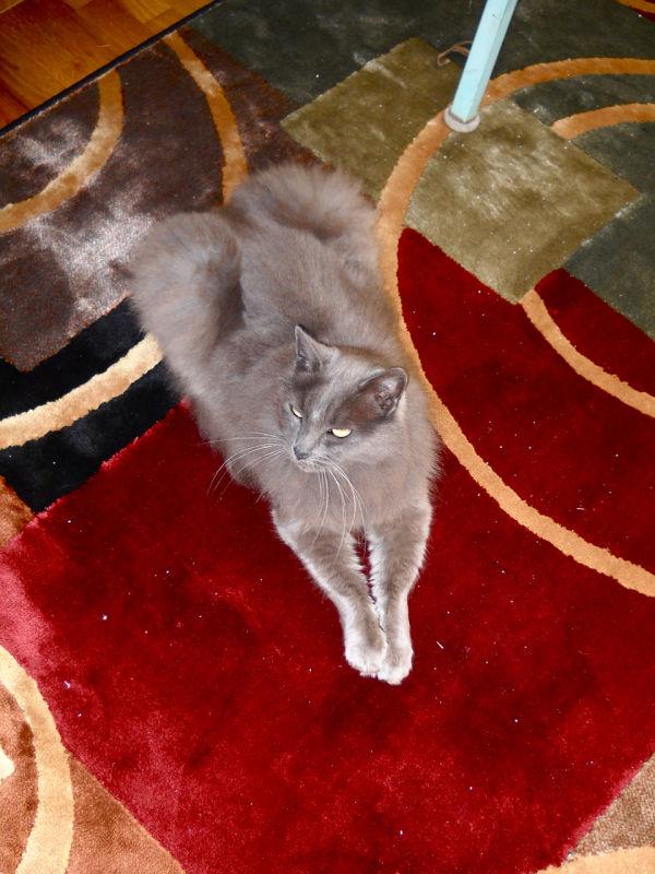 cat grey king