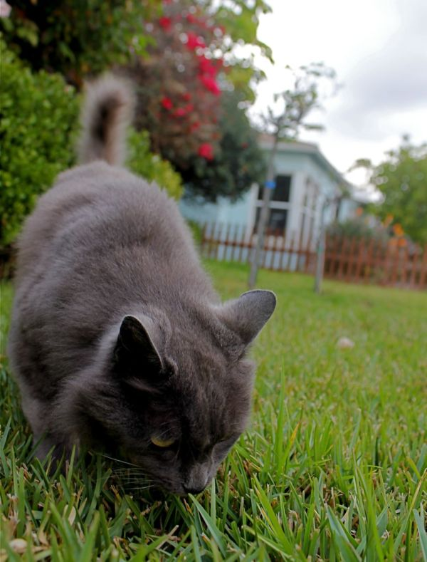 grey cat sniffing green grass