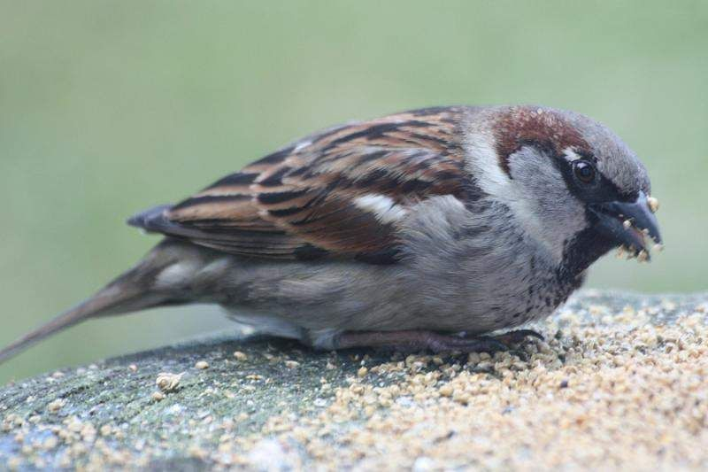 Eating Sparrow
