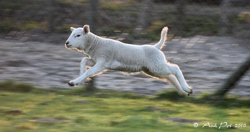 Jumping lamb