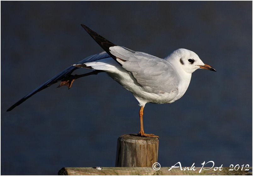 seagull stretching his leggs