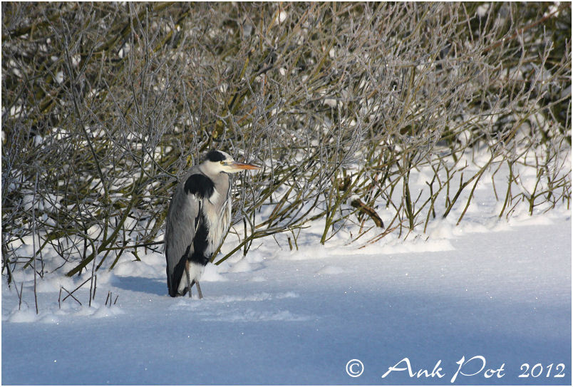 heron standing in the snow