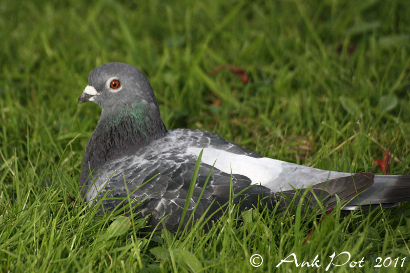 pigeon sitting in the grass