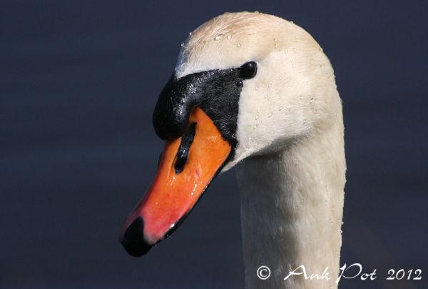 Swanportrait