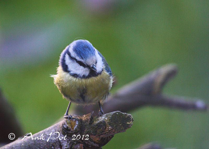 Blue Titmouse