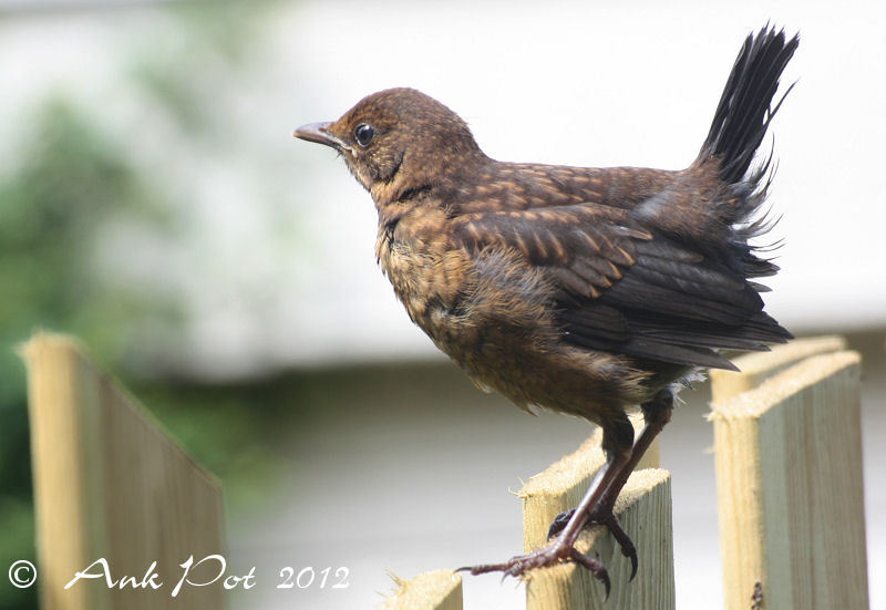 young blackbird sitting on fence