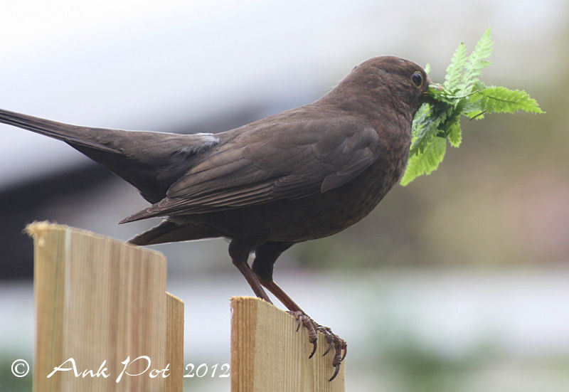 Female blackbird with nesting material
