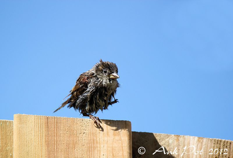 wet sparrow