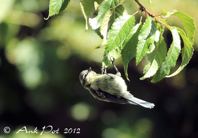 young blue titmouse