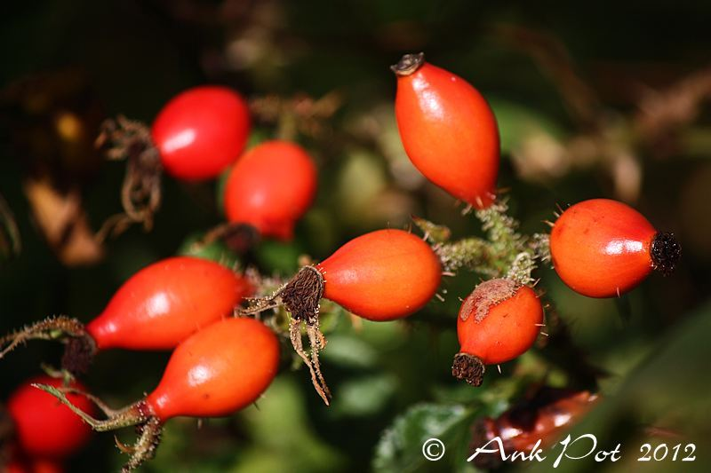 Rosehips/Rozebottels