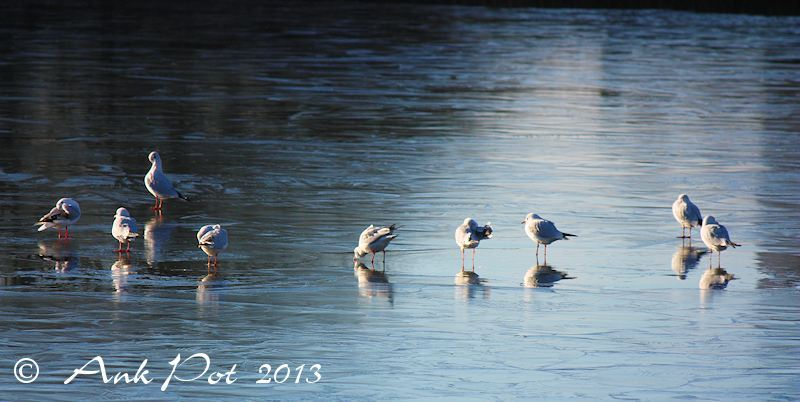 seagulls on thin ice
